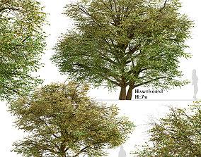3D Set of Hawthorn or Crataegus Trees - 2 Trees