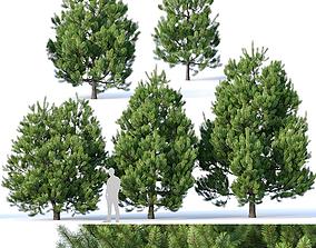 Pinus sylvestris Nr2 H3-6m 3D