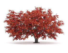 Japanese Maple Acer Palmatum 2 3D model