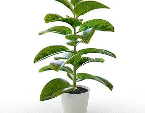 3D model gomero Ficus Elastica