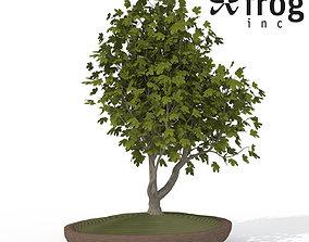 3D model XfrogPlants Field Maple - Bonsai