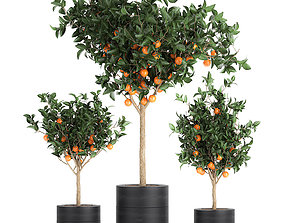 Orange tree for the interior in black pot 717 3D