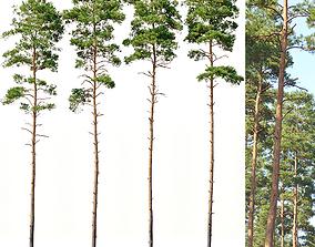 3D model Pinus sylvestris Nr6 H24-27m Four tree set