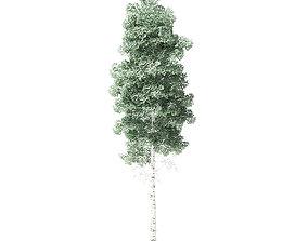Quaking Aspen Tree 3D Model 6m