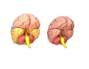 VR / AR ready Human Brain 3D model Lymphatic System