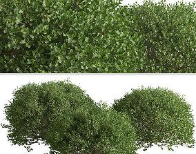 Set of Boxood or Buxaceae Shrubs - 3 Shrubs 3D model
