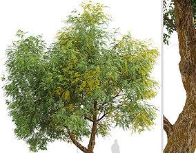 Chinese Elm or Ulmus parvifolia Tree - 1 Tree 3D