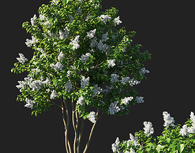 3D Syringa vulgaris tree
