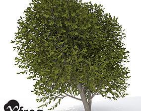 XfrogPlants Cherry Laurel 1 3D model