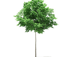 3D model Norway Maple Acer platanoides 3m