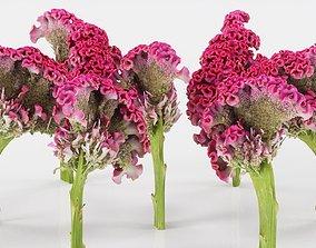 3D asset Cockscomb Flower