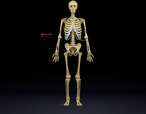 Human skeleton set complete separable labelled 3D model 2
