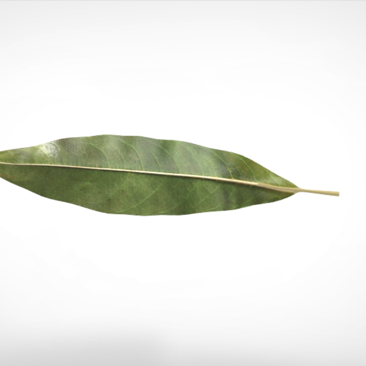 19 Model of Leaves - Very high quality