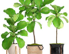 trees 3D model Ficus Lyrata Trees