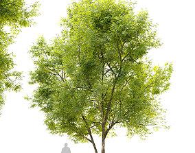 Summit green ash - Fraxinus pennsylvanica Summit 3D model
