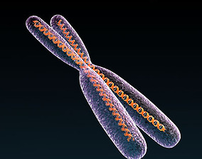3D female-anatomy Chromosome with DNA