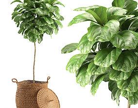 3D model Plant 011 - Ficus Lyrata
